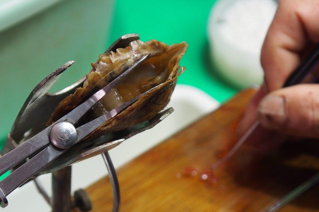 アコヤ貝に人工的に「核」を入れる作業をしている。